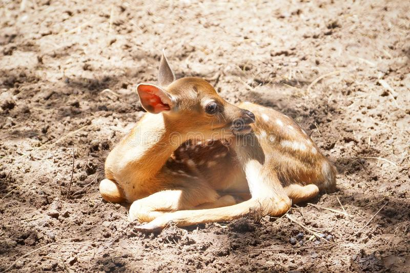 A newly born Sika deer stock photo