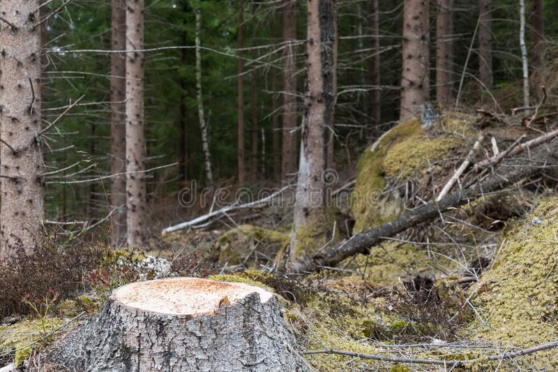 Newly cut spruce tree stump. In an old coniferous forest stock photo