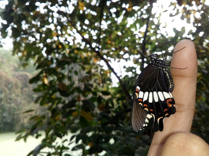 Newly emerged common mormon butterfly female on fingertip royalty free stock photo