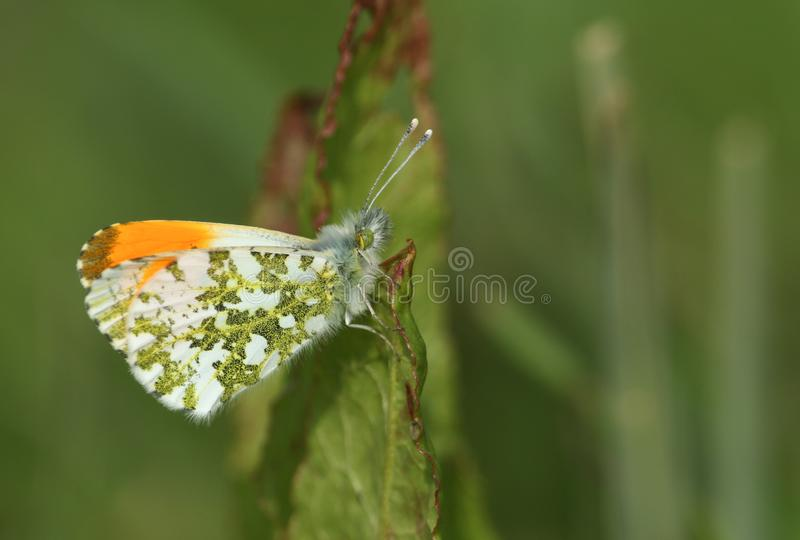 A newly emerged male Orange-tip Butterfly, Anthocharis cardamines, perched on a leaf. A newly emerged pretty male Orange-tip Butterfly, Anthocharis cardamines royalty free stock photo