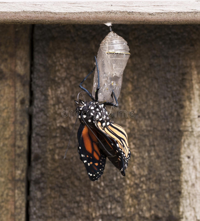 Newly Emerged Monarch Butterfly on Clear Chrysalis. Newly emerged monarch butterfly with semi-straightened wings is hanging from the clear chrysalis stock photos