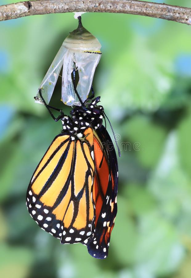 A Monarch Butterfly newly emerged. A newly emerged Monarch butterfly clinging to its chrysalis royalty free stock photos