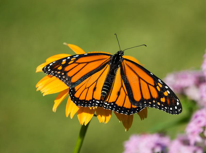 Newly emerged Monarch butterfly on coneflower stock image