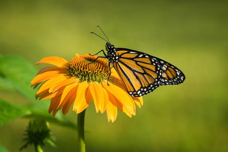 Newly emerged Monarch butterfly on coneflower stock photo
