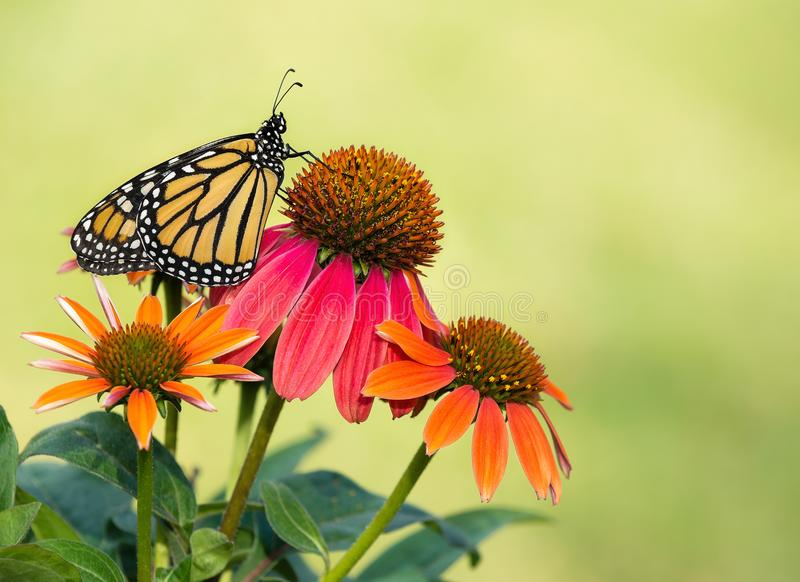 Newly emerged Monarch butterfly on coneflowers royalty free stock images