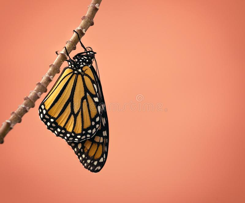 Newly Emerged Monarch butterfly royalty free stock image
