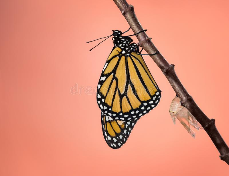 Newly Emerged Monarch butterfly royalty free stock images