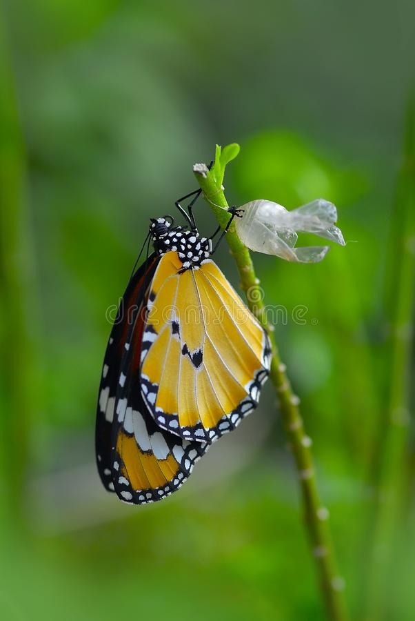 The newly emerged monarch butterfly royalty free stock images