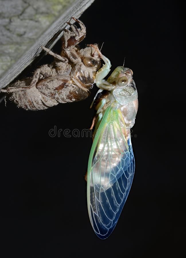 Newly Emerged Seventeen-year Cicada Waits for its Wings to Harden royalty free stock photos