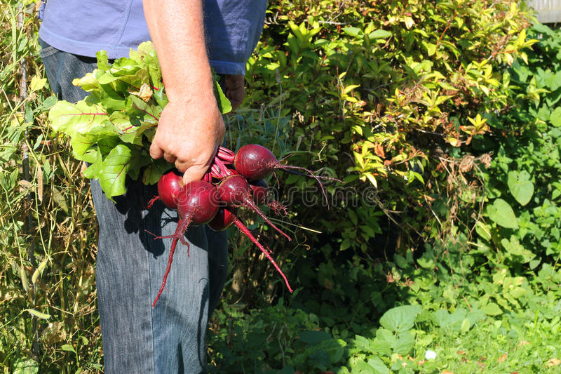 Newly Harvested Beetroot. Stock Photography