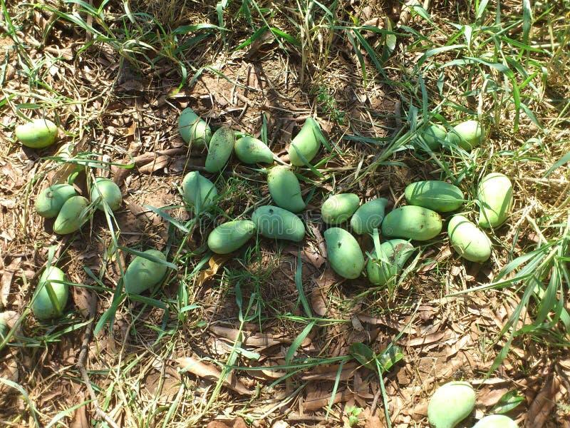 Newly Harvested Mangoes (Mango) royalty free stock photography