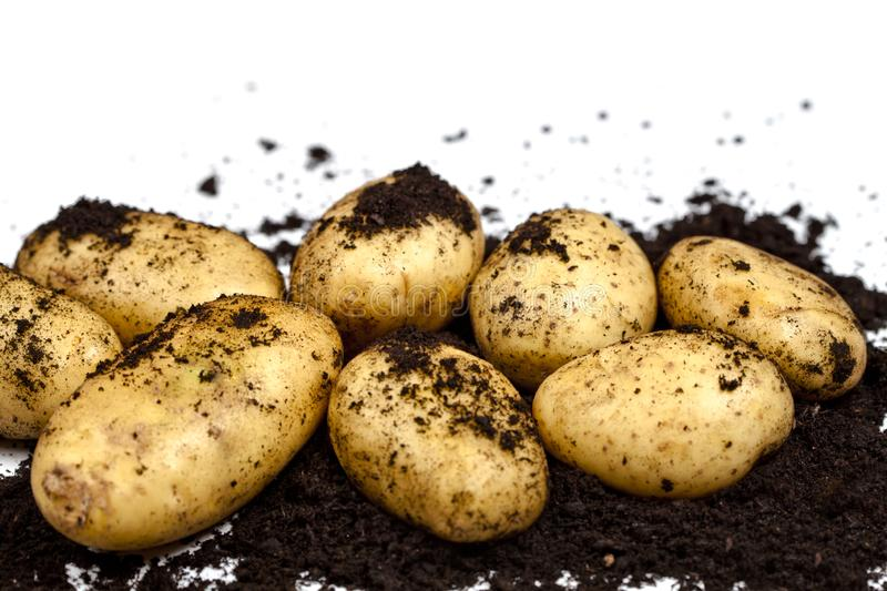Newly harvested potatoes and soil closeup on white background stock images