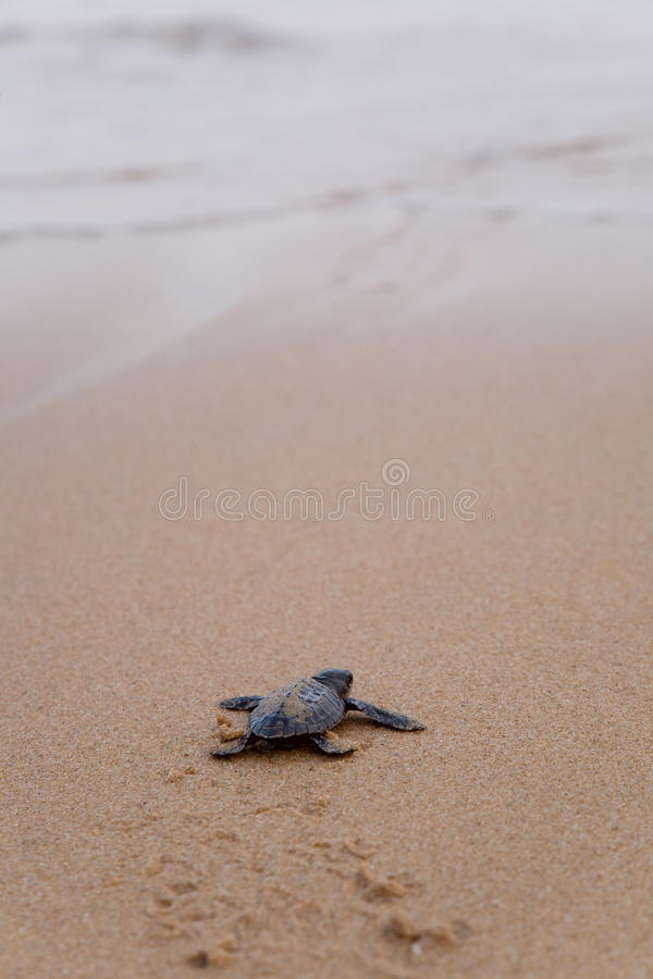 Download Newly Hatched Baby Loggerhead  Turtle Stock Photo - Image: 25106574