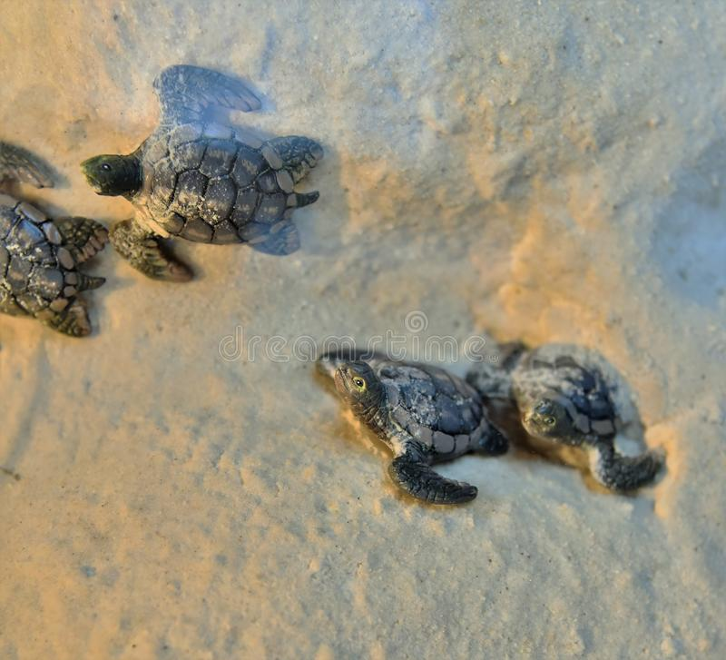 Newly hatched baby turtles are racing. Towards the sea crawling on sand royalty free stock photography