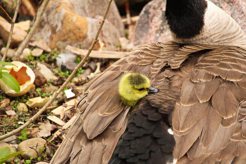 A newly hatched gosling peaking its head out of its` mothers` wing.  stock photography