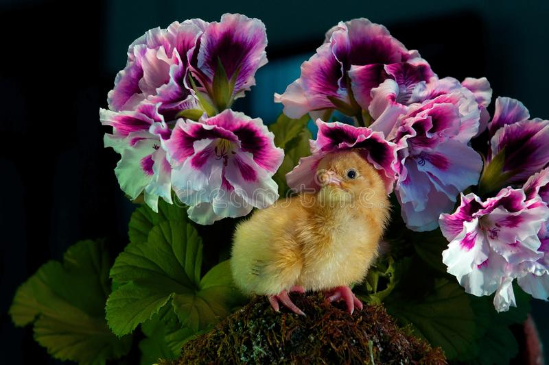 Newly hatched, one day old chicken ...... with English geranium around. New hatch just one day old, sitting on a mossy stone with English perlagons around. From stock image