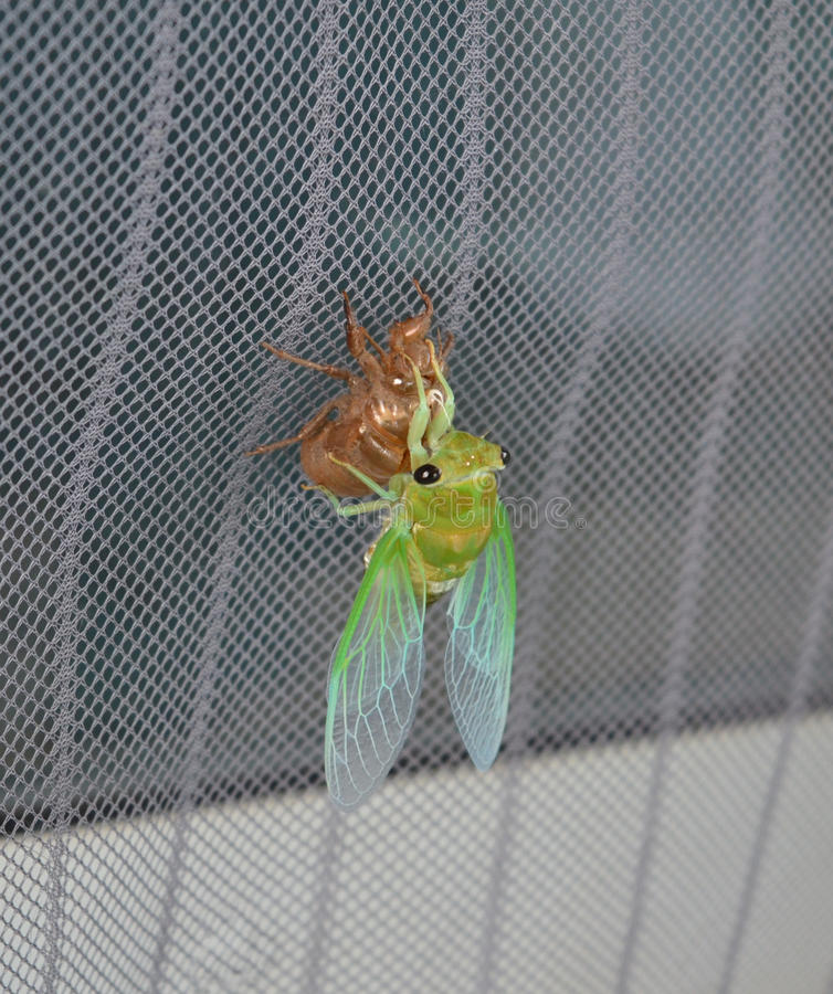 Newly molted cicada on screen. A newly molted Superb Green Cicada Tibicen superba hangs onto its molted shell royalty free stock photos