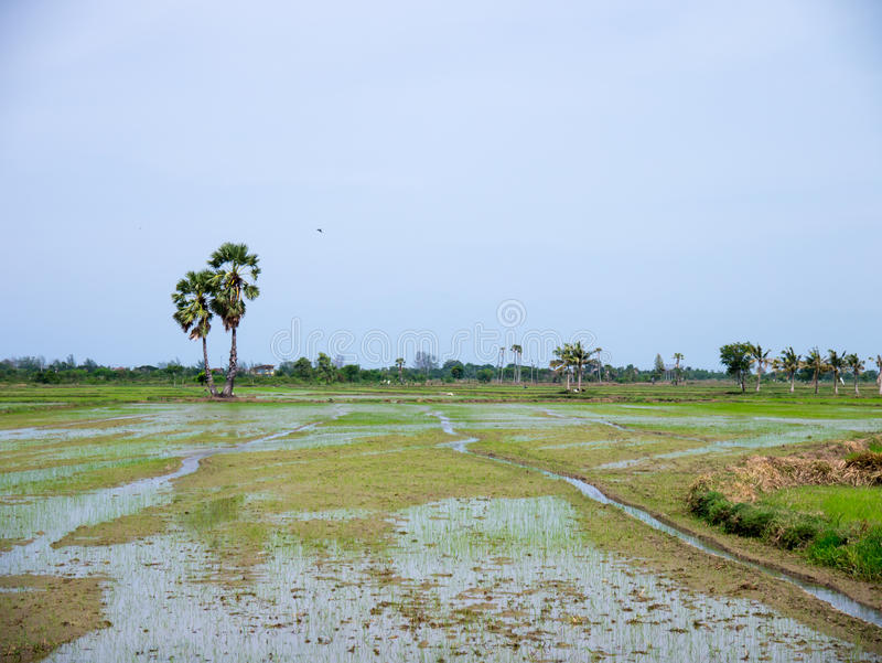 Newly planted rice paddy. Rice field newly sown seeds stock photos