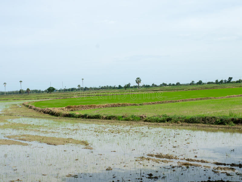 Newly planted rice paddy. Rice field newly sown seeds royalty free stock photo