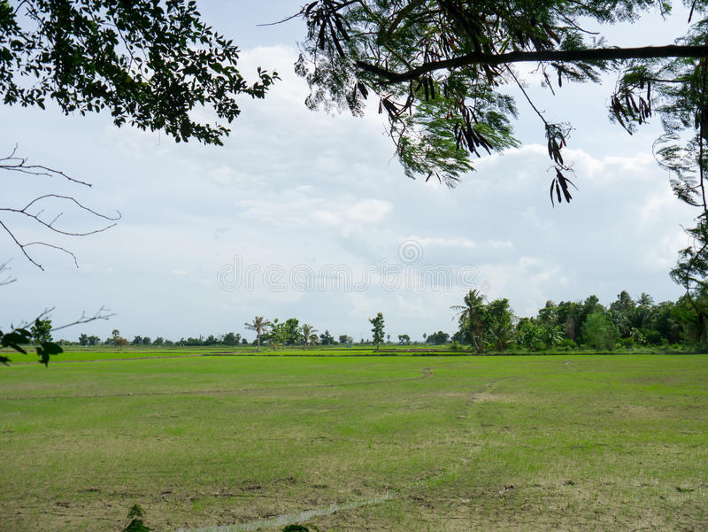 Newly planted rice paddy. Rice field newly sown seeds stock photography