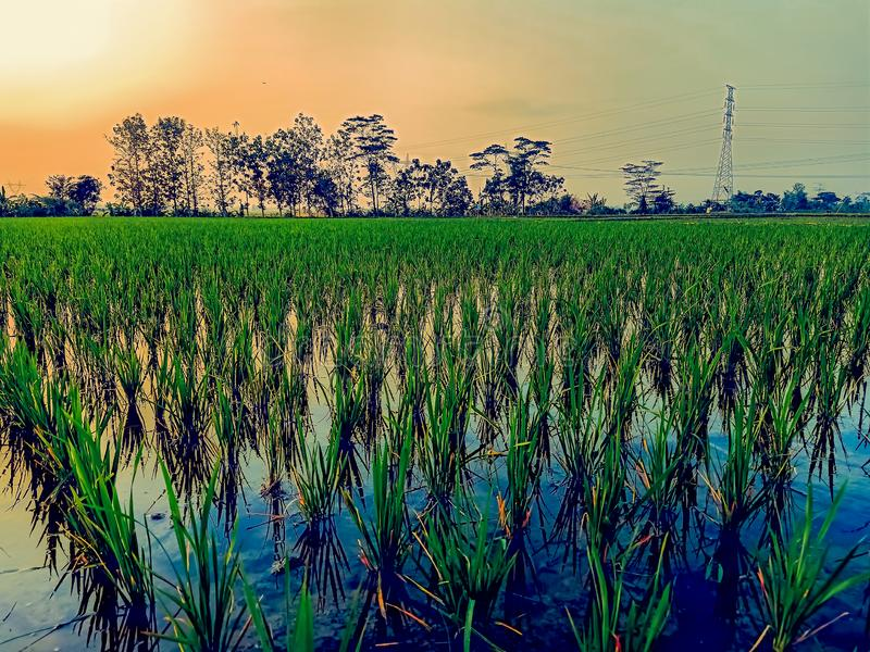 newly planted rice tree royalty free stock images