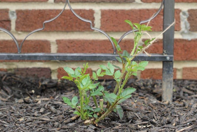 Newly Planted Rose Bush lizenzfreie stockbilder
