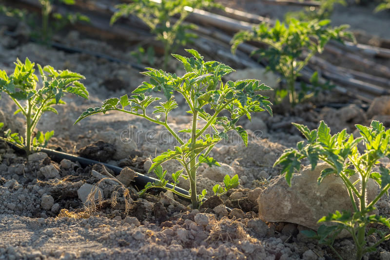 Newly planted tomato shoots on cultivated land. Growth of tomato plant seedlings in a greenhouse, early spring stock photo