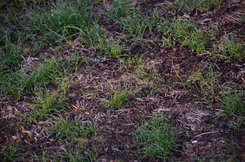 Newly seeded lawn. A newly seeded fescue lawn grass start growing stock photo