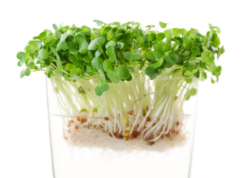 Newly sprouted radish seeds. Asian diakon radish sprouts in clear vase stock photo