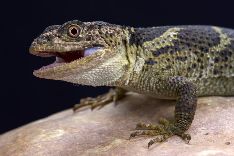 Newmans knopp-graderade ödla (Xenosaurusnewmanorumen) royaltyfri bild