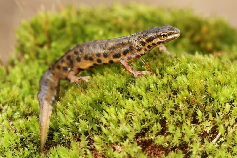 Download Newt stock image. Image of natural, wildlife, animal - 24438443