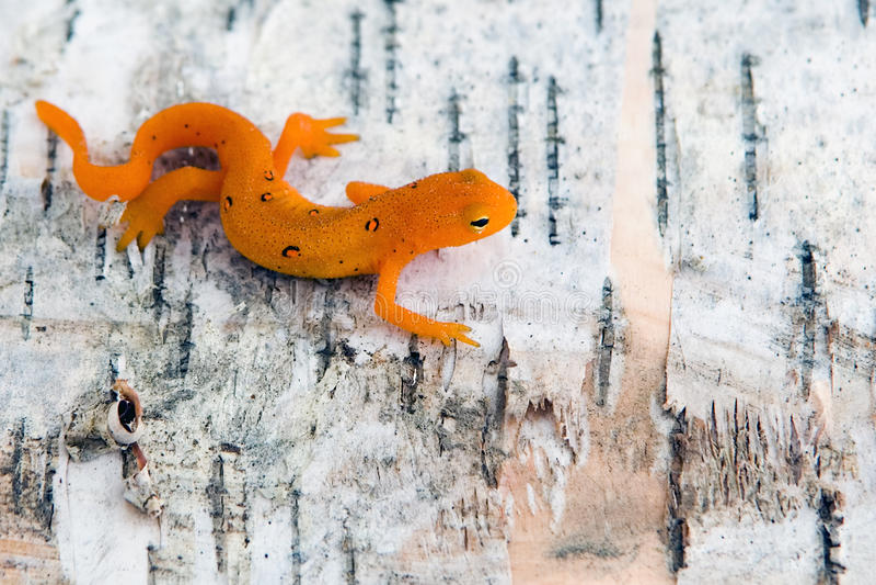 newt стоковые фото
