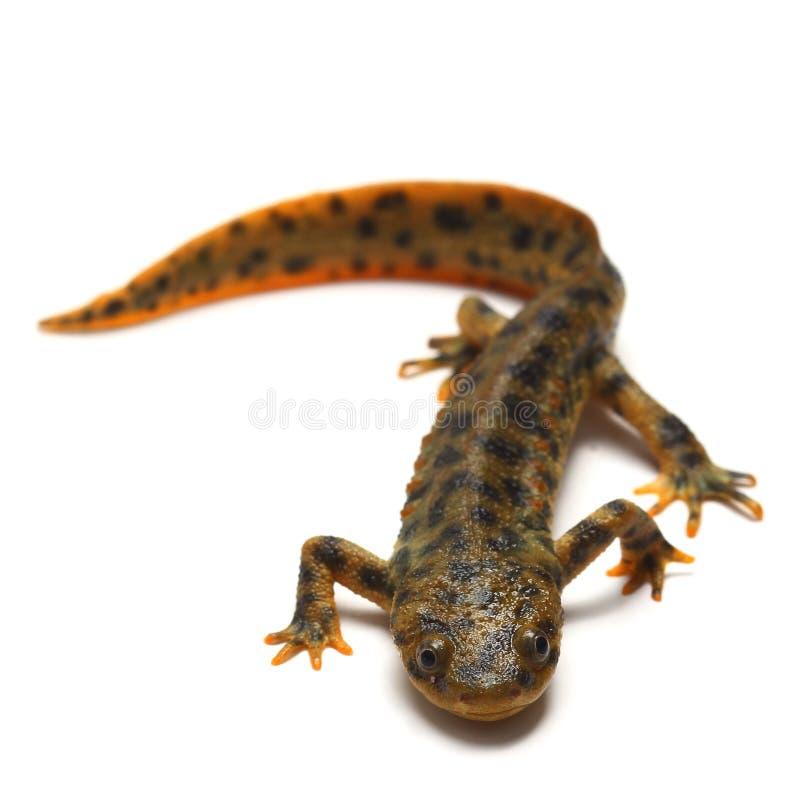Newt acanalado español (waltl de Pleurodeles) foto de archivo libre de regalías