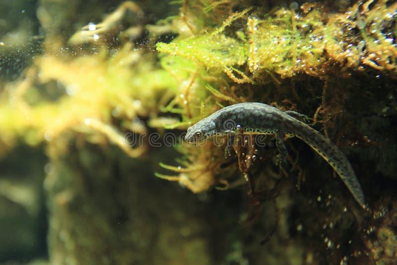 Newt alpestre photo stock