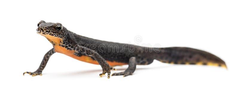 Newt alpino, alpestris de Ichthyosaura imagem de stock