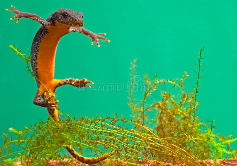 Download Newt Amphibian Swimming Under Water Stock Image - Image: 19555125