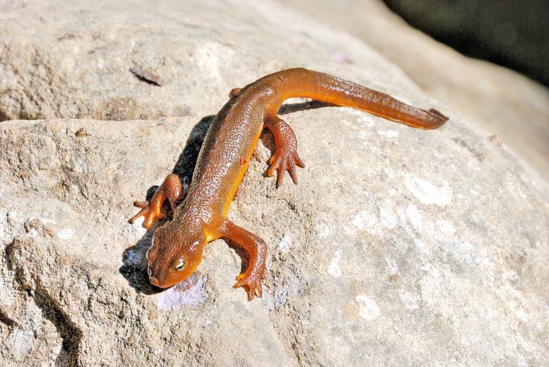 Newt de California en una roca fotografía de archivo libre de regalías