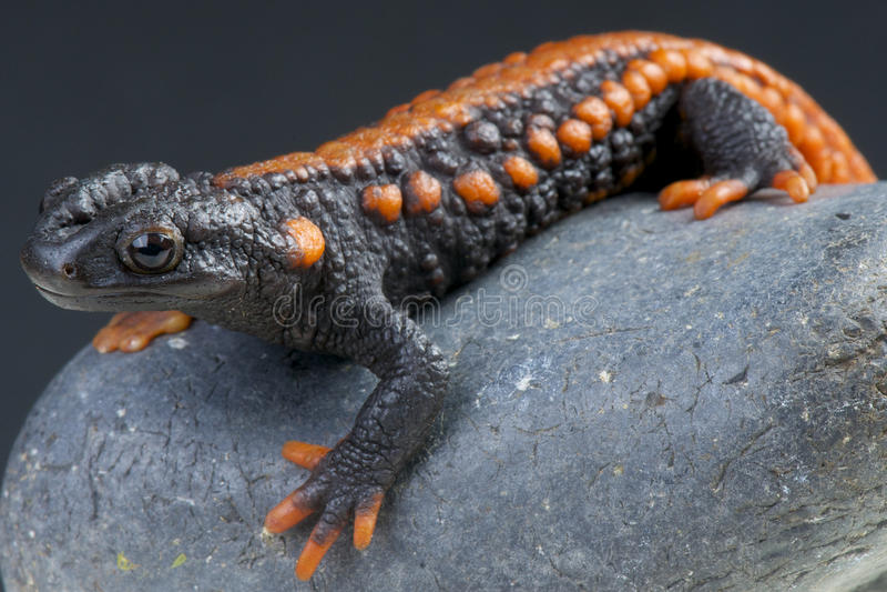 Newt do crocodilo/kweichowensis de Tylotriton imagens de stock royalty free