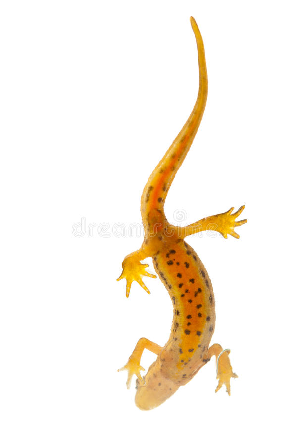 Download Newt isolated stock image. Image of salamander, speckled - 20064595