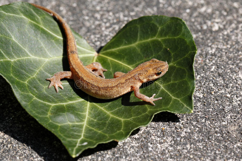Newt liso o newt común/Lissotriton vulgaris fotos de archivo libres de regalías