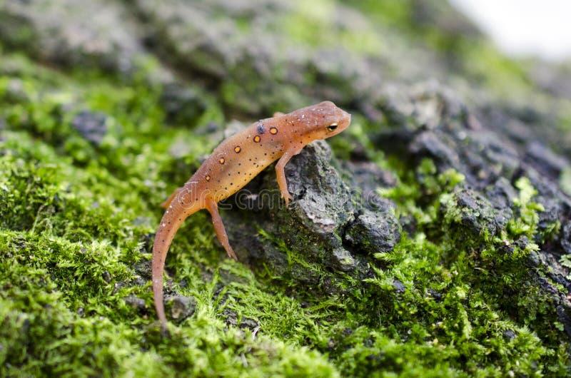 Newt manchado del este, salamandra roja del eft en musgo verde imagen de archivo libre de regalías