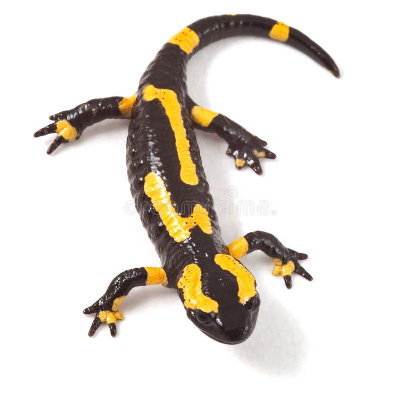Newt o salamander del fuego fotos de archivo