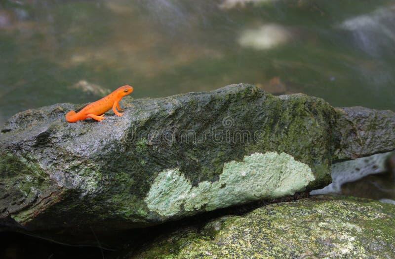 Newt vermelho do eft foto de stock royalty free