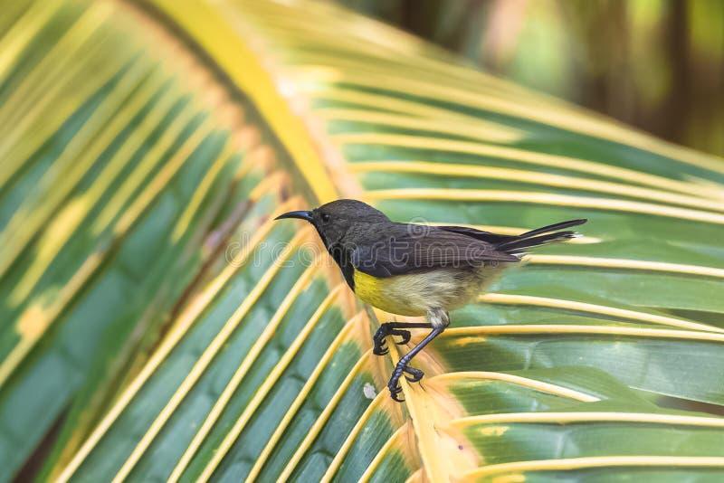 Newton`s sunbird, bird in Sao Tome. Newton`s sunbird, male, beautiful bird in Sao Tome and Principe, Anabathmis newtonii royalty free stock image