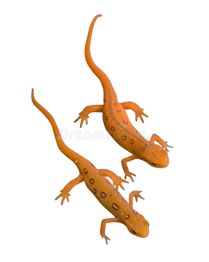 Download Newts stock image. Image of clipping, isolated, salamander - 13368705