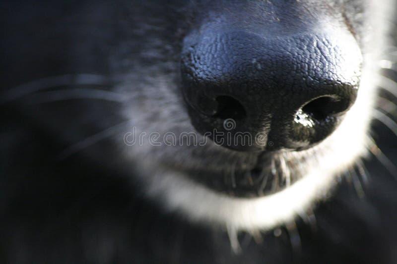 Nez de chien image libre de droits