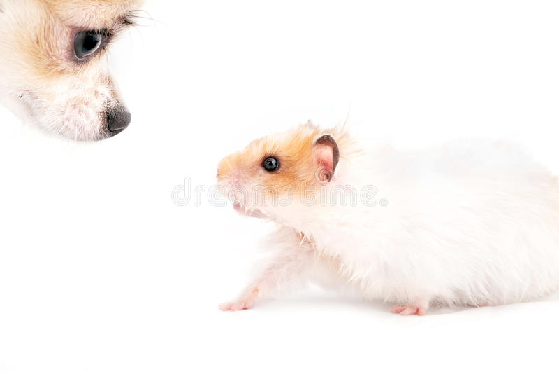 Nez de crabot et de hamster à flairer images stock