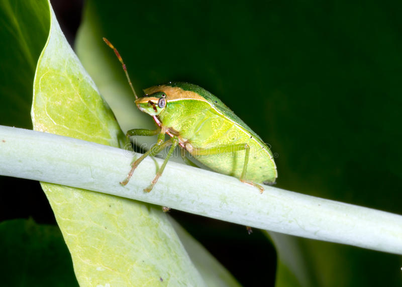 Nezara viridula f. torquata. Shield aka Stink bug. stock images