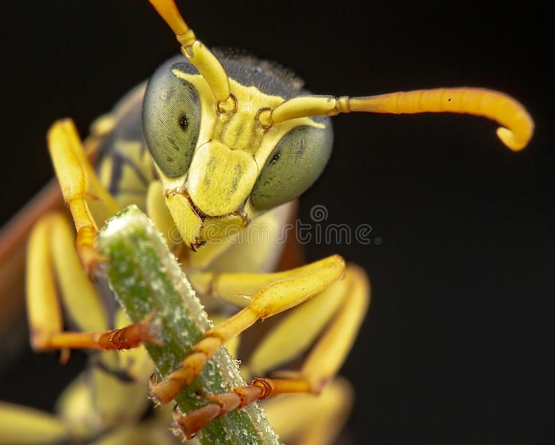 Polistes gallicus wasp portrait royalty free stock photo