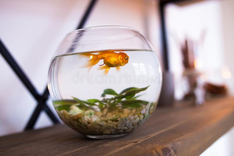 Ngoldfish в аквариуме удите в интерьере, малом круглом аквариуме стоковое фото rf